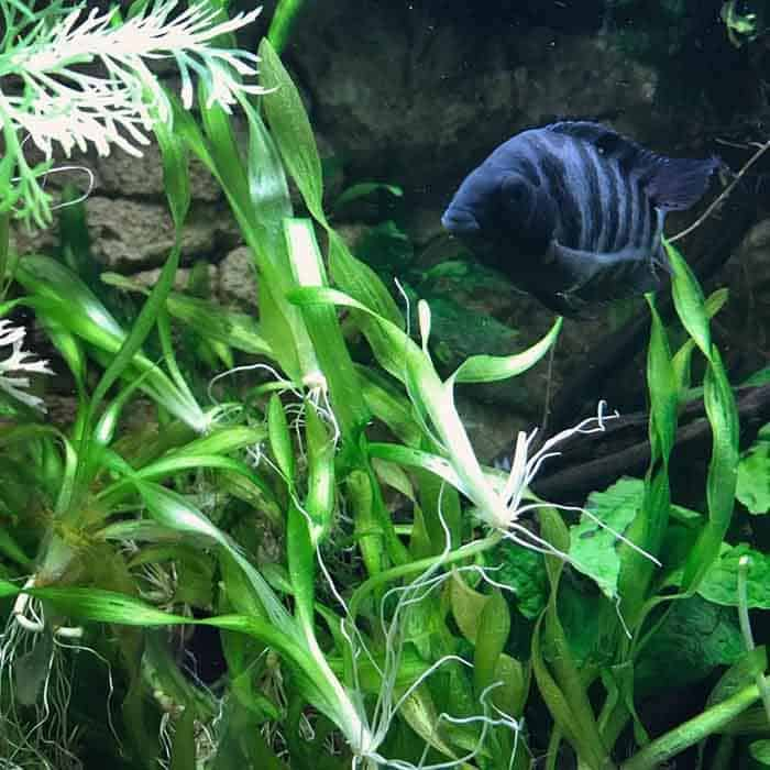 Convict swimming taken by @catfishriver on Instagram - Here we share everything you need to know about Convict Cichlids. Find out how to keep your Convict Cichlids happy and healthy. | Contented Fish