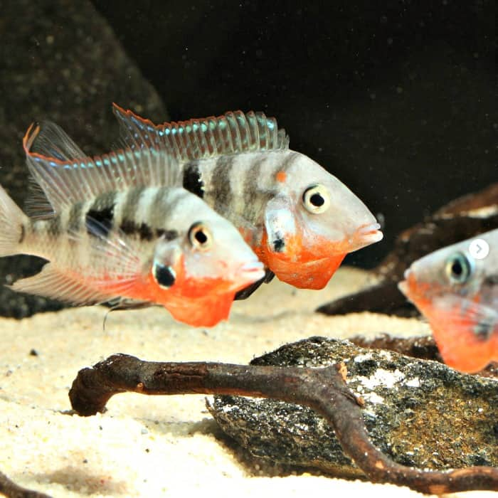 Group Of Firemouth Cichlids taken by @johancistrusGroup Of Firemouth Cichlids taken by @johancistrus