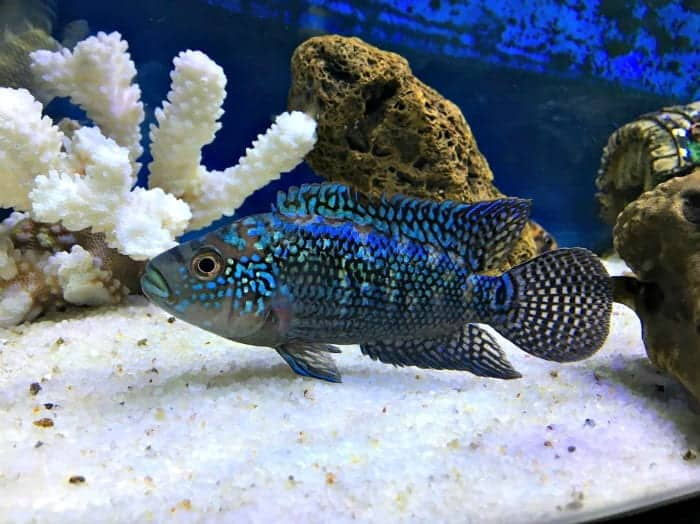 Tough Little Guy With Iridescent Scales | Jack Dempsey