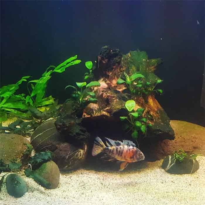 Peacock Cichlid swimming taken by @aqua_naturalist on Instagram