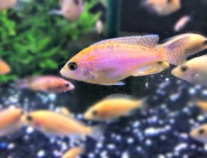 Pretty Peacock Cichlids taken by @cerulean_aquatics