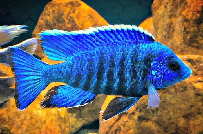 Vibrant Blue Peacock Cichlid taken by @billcamp11