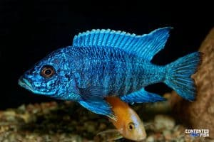 cichlid-fish-from-genus-aulonocara Peacock Cichlid