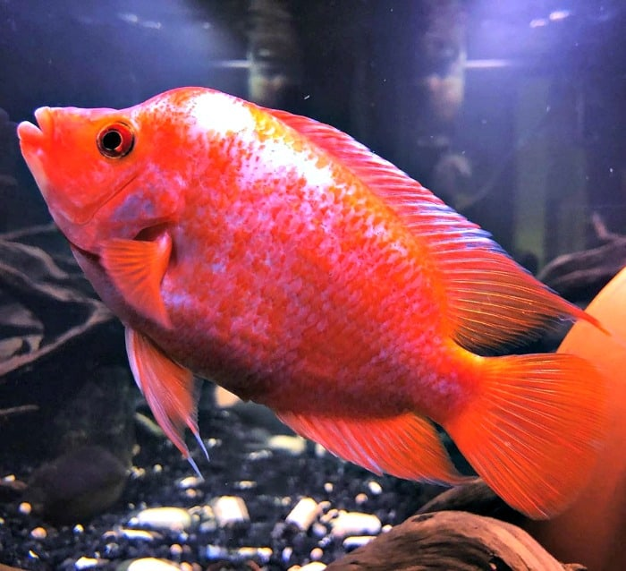Female Red Devil Cichlid taken by @christhefisherman