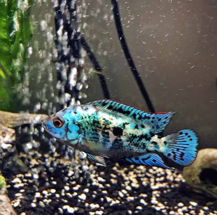 Jack Dempsey Cichlid Taken By @jeans_zoo - Everything you needed to know about Jack Dempsey Cichlids. Find out how to keep your Jack Dempsey Cichlids happy and healthy. | Contented Fish