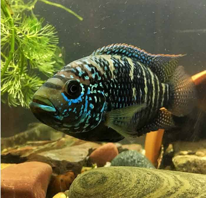 Jack Dempsey Cichlid Taken By @monstertankfish - Everything you needed to know about Jack Dempsey Cichlids. Find out how to keep your Jack Dempsey Cichlids happy and healthy. | Contented Fish