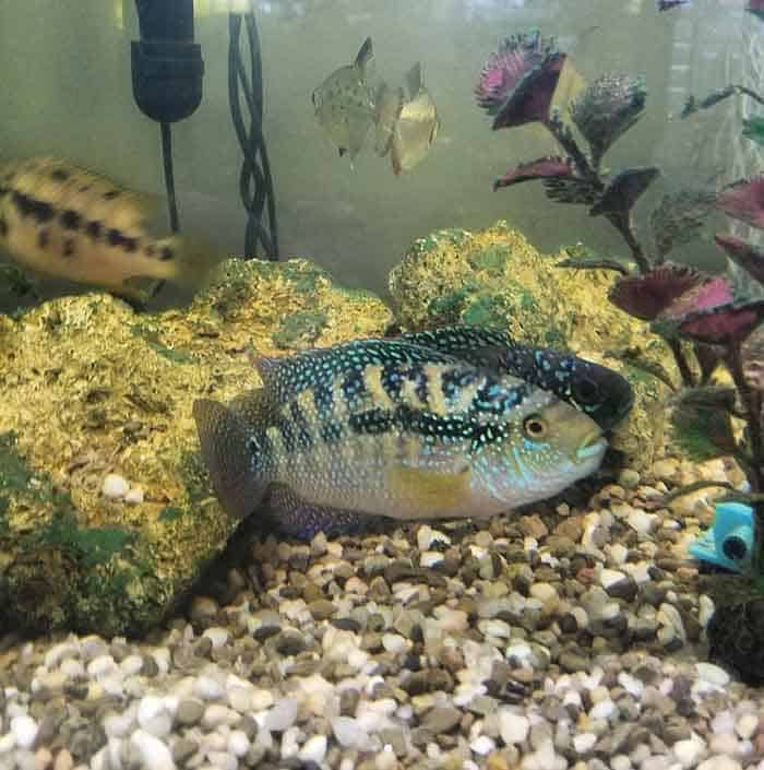 Jack Dempseys Cichlids Taken By @rivers.2.reefs - Everything you needed to know about Jack Dempsey Cichlids. Find out how to keep your Jack Dempsey Cichlids happy and healthy. | Contented Fish