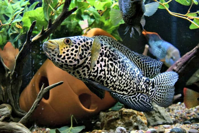 Jaguar Cichlid taken by @project_cichlids