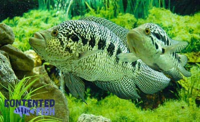 Jaguar Cichlidae Parachromis managuensis