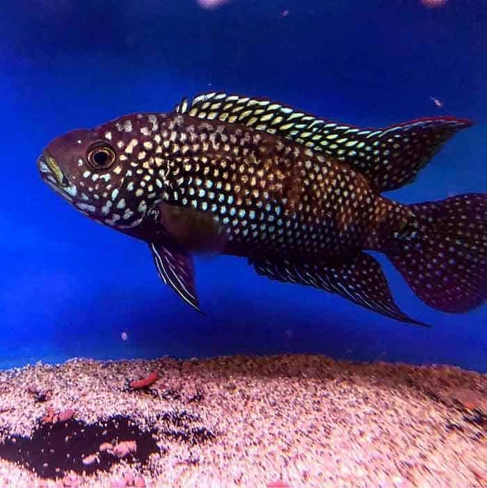 Large Jack Dempsey Taken By @maidenheadaquaticssummerhill - Everything you needed to know about Jack Dempsey Cichlids. Find out how to keep your Jack Dempsey Cichlids happy and healthy. | Contented Fish