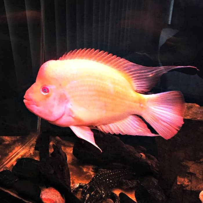 Mango The Red Devil Cichlid taken by @paco_147g on Instagram