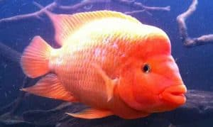 Red Devil Cichlid taken by @klickahsaahn on Instagram header