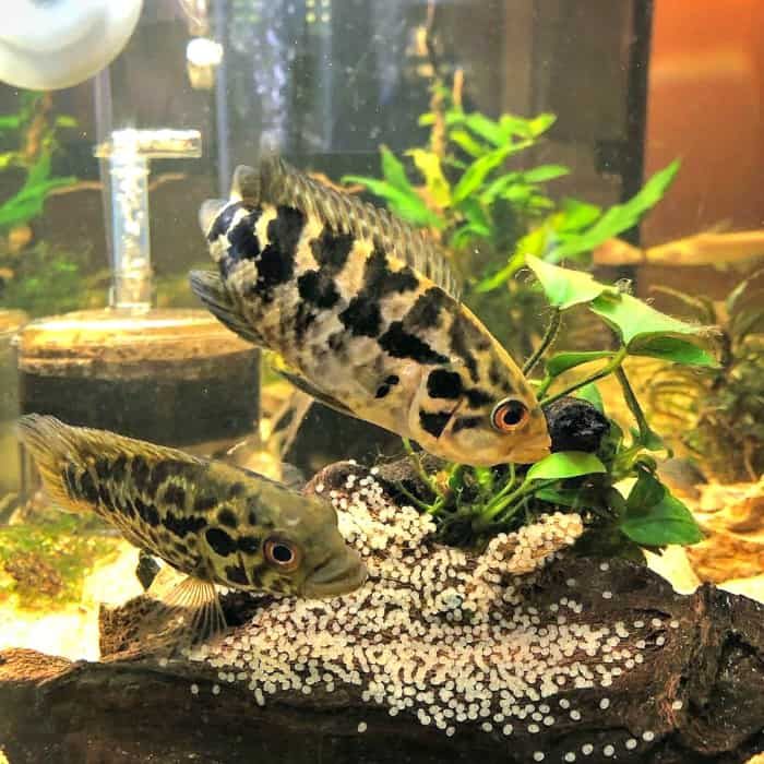 Spawing Jaguar Cichlids taken by @xtrippyhippyx