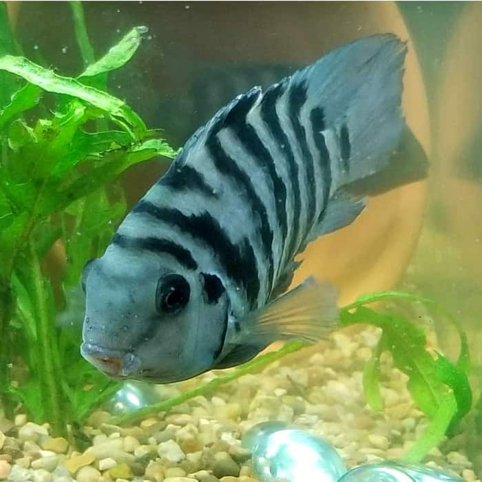 A small convict cichlid swimming taken by @gillock1980