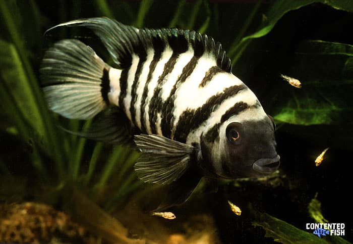 Convict Cichlid black and white