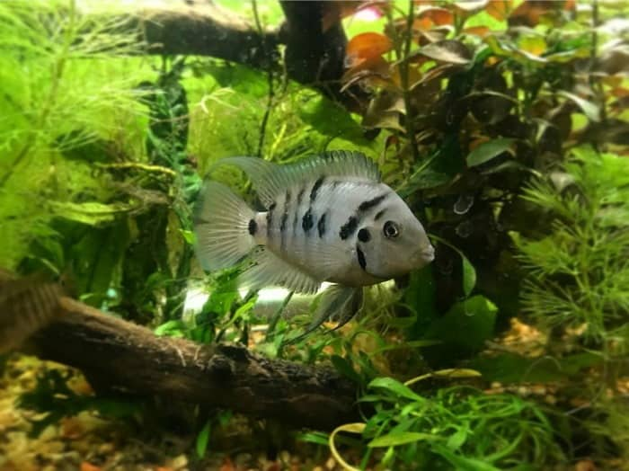 Small Convict Cichlid Fish swimming among plants taken by @funtimefishkeeping