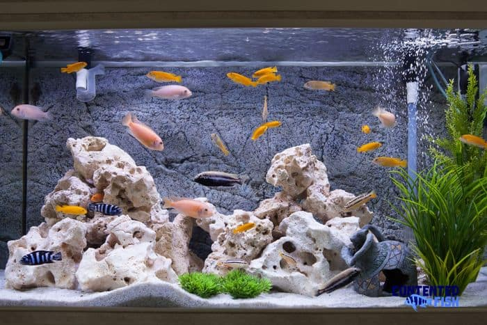 Best Food For Cichlids Colors - Read On For All The Answers