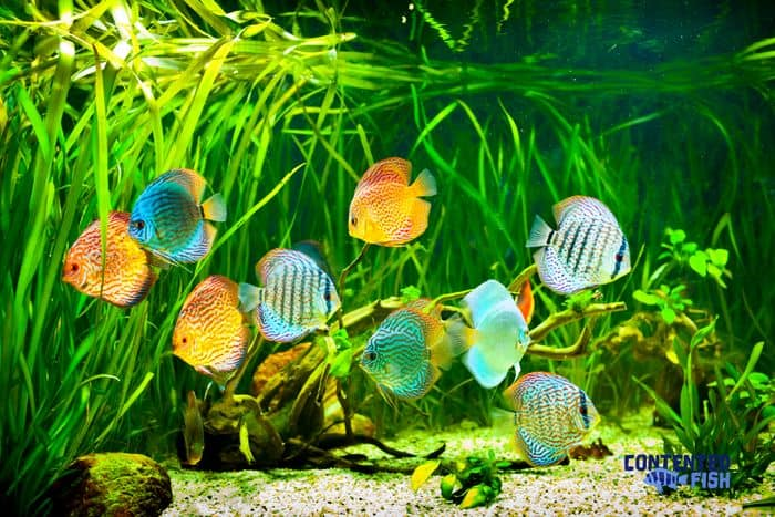 Best Food For Cichlids Growth - Read On For All the Answers